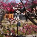 写真: 梅小路公園の梅風景
