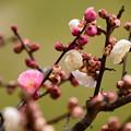 写真: 紅白咲き分けの梅