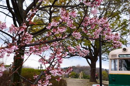 梅小路公園の寒桜(カンザクラ)