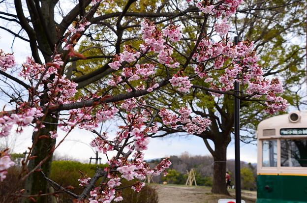 写真: 梅小路公園の寒桜(カンザクラ)