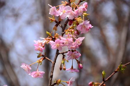 長徳寺の河津桜(カワヅザクラ)
