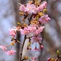 写真: 長徳寺の河津桜(カワヅザクラ)