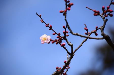 桜梅(サクラバイ)