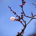 写真: 桜梅(サクラバイ)