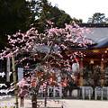 写真: 本殿と枝垂れ梅
