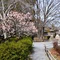 写真: 長岡天満宮参道の梅