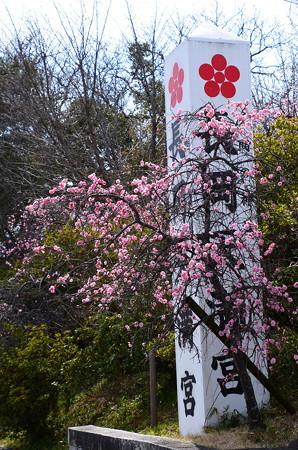 参道の枝垂れ梅