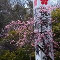 写真: 参道の枝垂れ梅