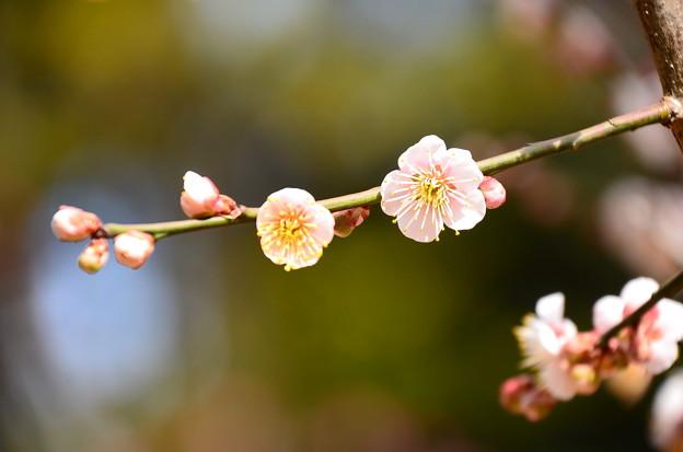 写真: ほんのり梅色の梅~