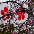 写真: 梅の御紋と枝垂れ梅