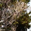 写真: 蝋梅の後ろの白梅