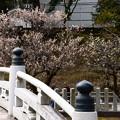 写真: 放生池脇の梅