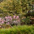 写真: 慈氏院だるま堂の梅