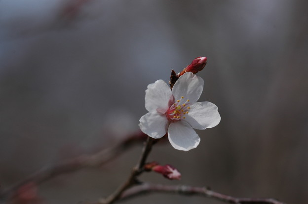 写真: 近畿豆桜(キンキマメザクラ)