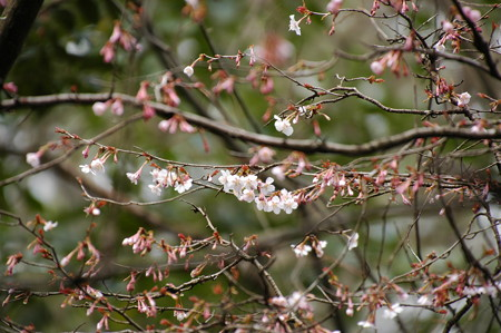 生態園の近畿豆桜(キンキマメザクラ)