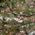 写真: 生態園の近畿豆桜(キンキマメザクラ)