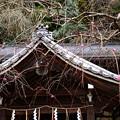 写真: 本殿前の枝垂れ梅