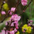 写真: 春のコラボ