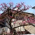 写真: 善行院の紅梅