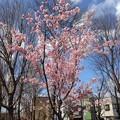 写真: 紫明せせらぎ第五公園の河津桜(カワヅザクラ)