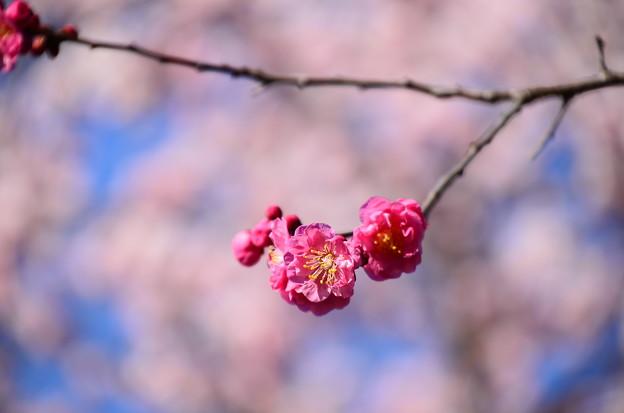 写真: 遅咲きの紅梅