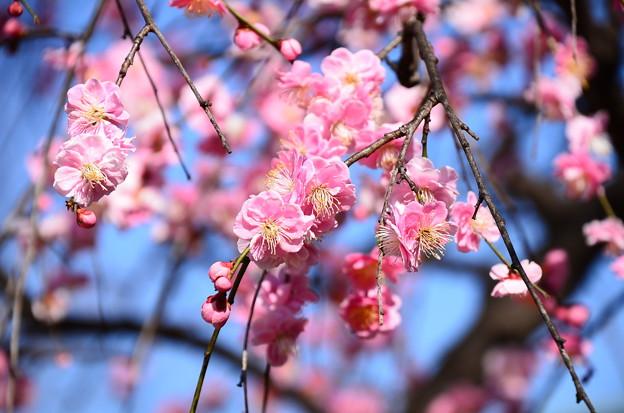 写真: ピンクの枝垂れ梅