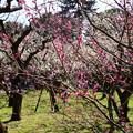 写真: 見頃の梅苑