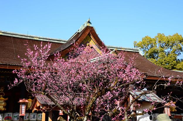 写真: 飛梅伝説 伝承の御神木