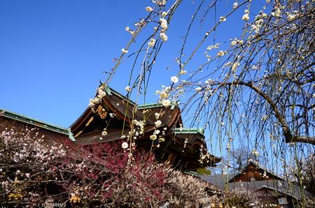 三光門と枝垂れ梅