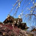 写真: 三光門と枝垂れ梅