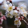 写真: 咲き始めの唐実桜(カラミザクラ)