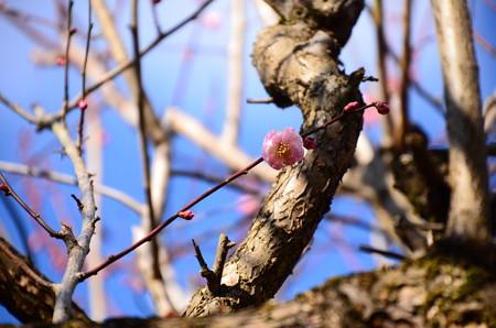 筑紫紅(チクシコウ)