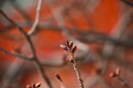 左近の桜はまだ蕾