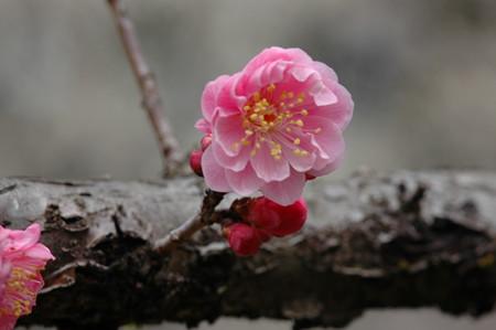 遅咲きの梅