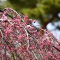 近衛邸跡の糸桜が咲き始めました~