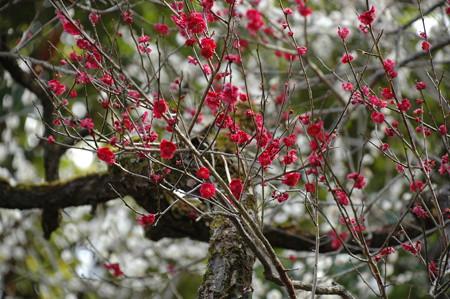 朱の濃い梅