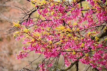 ヒマラヤ緋桜(ヒマラヤヒザクラ)?