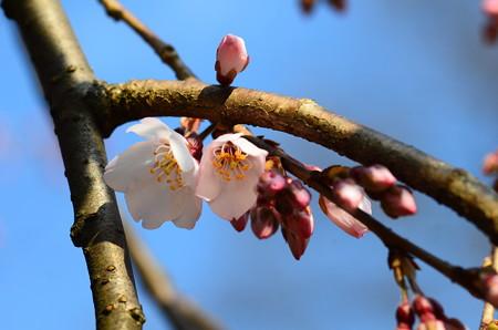 近衛池脇の糸桜(イトザクラ)