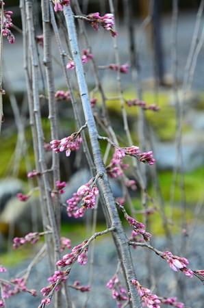 阿亀桜(オカメザクラ)はまだ蕾、、、
