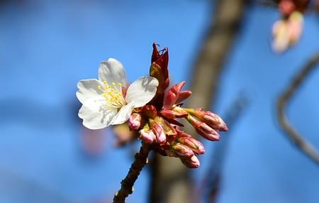 咲き始めた雪山桜(ユキヤマザクラ)