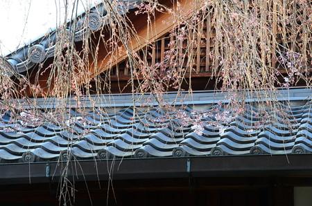 本満寺の枝垂れ桜(シダレザクラ)
