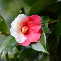 写真: 紅白咲き分け