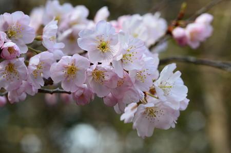 東海桜(トウカイザクラ)