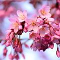 写真: 何桜~?
