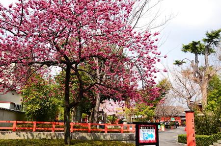 寒緋桜咲く車折神社