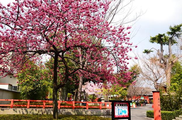写真: 寒緋桜咲く車折神社