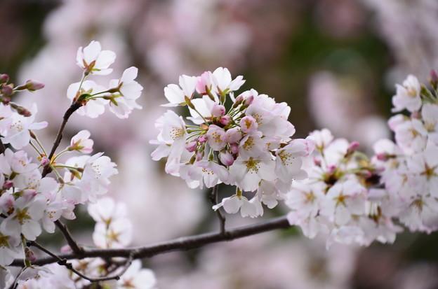 写真: 冷泉家の桜