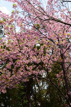 北側の河津桜(カワヅザクラ)