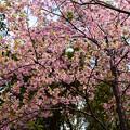 写真: 北側の河津桜(カワヅザクラ)