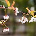 写真: 車折神社の桜 1